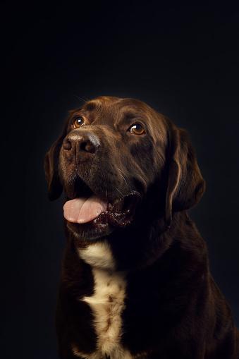 Mixed-Breed Dog「Portrait of chocolate Labrador」:スマホ壁紙(7)