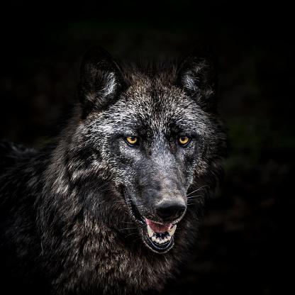 Wolf「Portrait of wolf in forest」:スマホ壁紙(1)