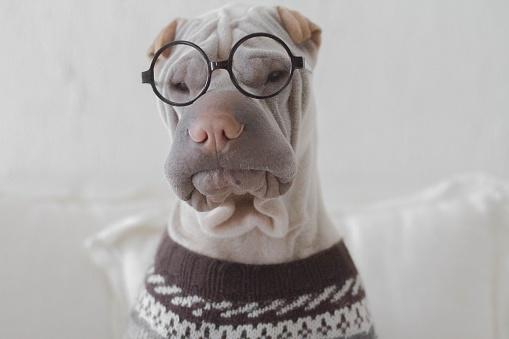 Well-dressed「Portrait of a shar pei dog looking intellectual」:スマホ壁紙(15)