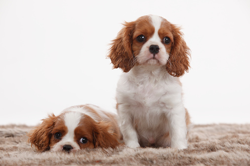 Lap Dog「Portrait of two Cavalier King Charles Spaniel puppies in front of white background」:スマホ壁紙(8)