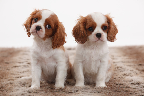 Lap Dog「Portrait of two Cavalier King Charles Spaniel puppies sitting on brown plush」:スマホ壁紙(9)