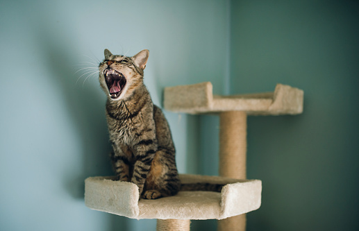 Mouth Open「Portrait of yawning cat sitting on scratching post」:スマホ壁紙(10)