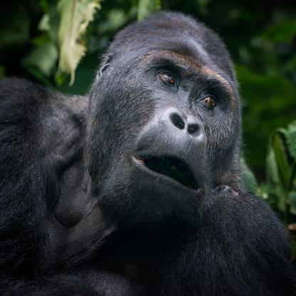 コンゴ民主共和国「の肖像、シルバーバックゴリラ、野生生物の写真、コンゴ」:スマホ壁紙(3)