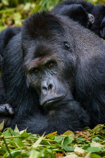 コンゴ民主共和国「の肖像、シルバーバックゴリラ、野生生物の写真、コンゴ」:スマホ壁紙(0)