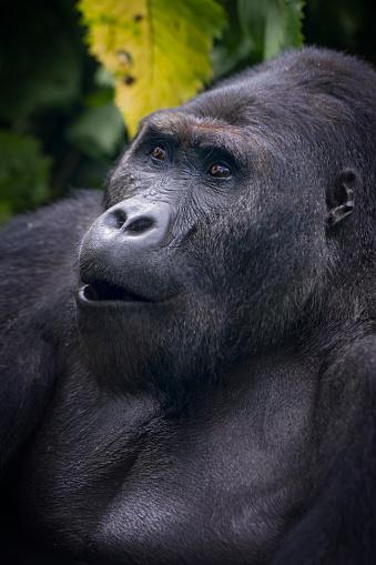 コンゴ民主共和国「の肖像、シルバーバックゴリラ、野生生物の写真、コンゴ」:スマホ壁紙(4)