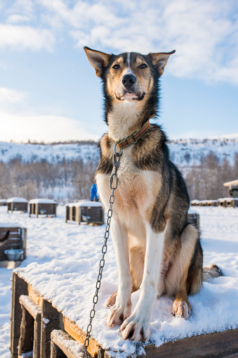 Dogsledding「Portrait of husky sitting in snow, Kirkenes, Finnmark, Norway」:スマホ壁紙(9)