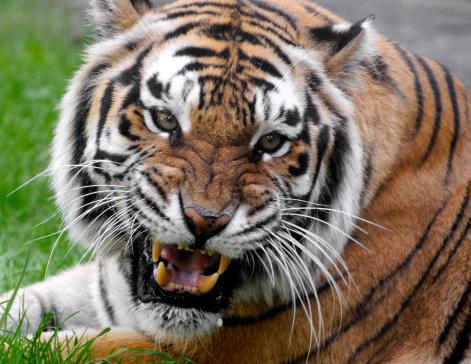 虎「Bengal Tiger のポートレート」:スマホ壁紙(13)