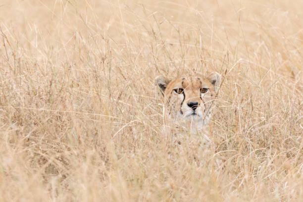 Portrait of a Cheetah Camouflaged in Tall Grass:スマホ壁紙(壁紙.com)