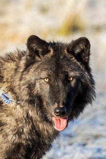 狼「Portrait of adult male wolf (Canis lupus) with tongue out, captive at Alaska Wildlife Conservation Center」:スマホ壁紙(4)