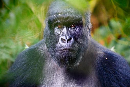 Uganda「Portrait of mountain gorilla」:スマホ壁紙(7)