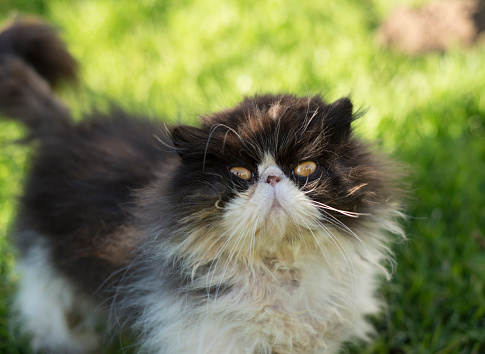 ペルシャネコ「Portrait of Persian cat outdoors」:スマホ壁紙(12)