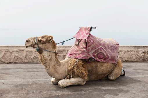 Working Animal「Portrait of a camel, Morocco」:スマホ壁紙(17)