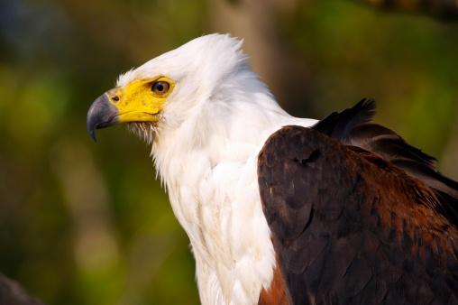 African Fish Eagle「Portrait of Fish Eagle (Haliaeetus vocifer)」:スマホ壁紙(6)