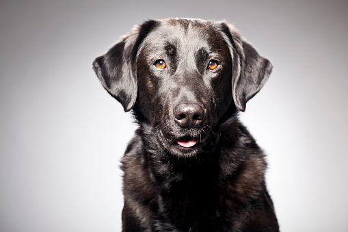 Animal Themes「Portrait of a Black Labrador」:スマホ壁紙(7)