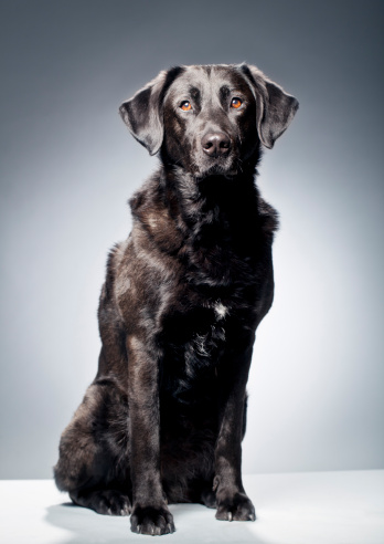 Gray Background「Portrait of a Black Labrador」:スマホ壁紙(8)