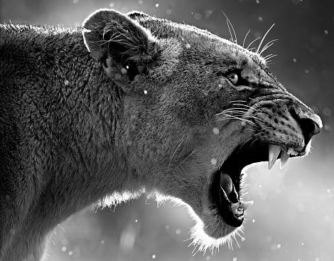 Lioness - Feline「Portrait of a lioness roaring, Africa」:スマホ壁紙(6)