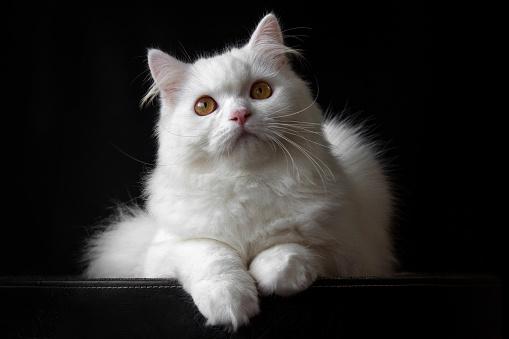 ふわふわ「Portrait of a white Persian cat」:スマホ壁紙(13)
