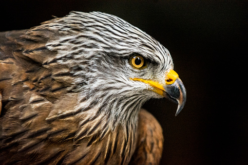 Animal Themes「Portrait of hawk against dark background (high ISO, shallow DOF)」:スマホ壁紙(3)