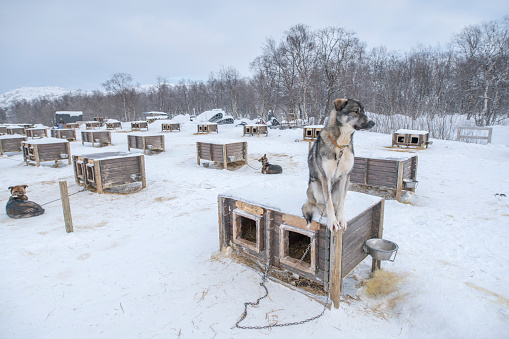 Dogsledding「Portrait of husky sitting down, Kirkenes, Norway」:スマホ壁紙(10)
