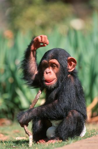Pretoria「Portrait of a Baby Chimpanzee (Pan troglodytes) Playing with a Stick」:スマホ壁紙(12)