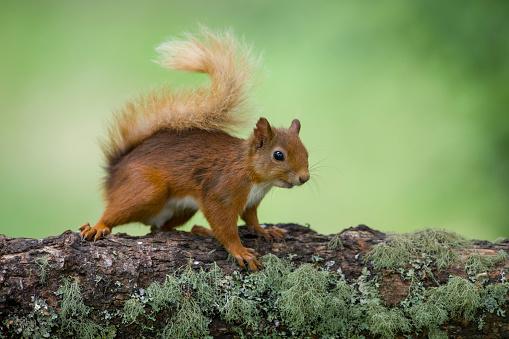リス「Portrait of Eurasian red squirrel on tree trunk」:スマホ壁紙(3)