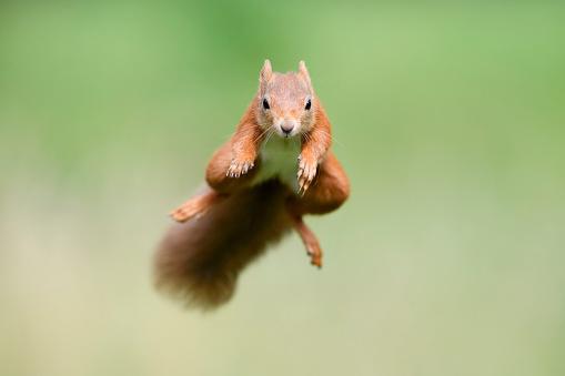 Squirrel「Portrait of Eurasian red squirrel (Sciurus vulgaris) jumping toward camera」:スマホ壁紙(10)