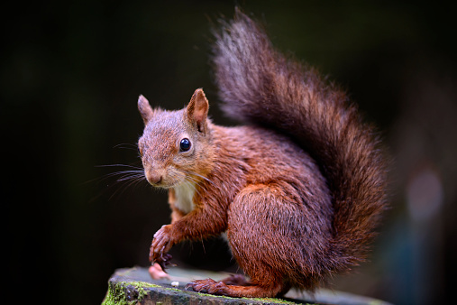 Squirrel「Portrait of Eurasian red squirrel, Sciurus vulgaris」:スマホ壁紙(15)