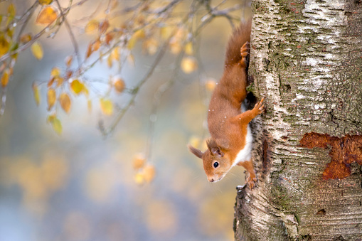 Eurasian Red Squirrel「Portrait of Eurasian red squirrel climbing on tree in autumn」:スマホ壁紙(4)