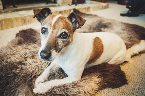 Portrait of a senior Jack Russell Terrier dog:スマホ壁紙(壁紙.com)