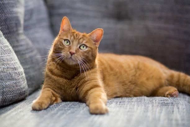 Cat lying on sofa:スマホ壁紙(壁紙.com)