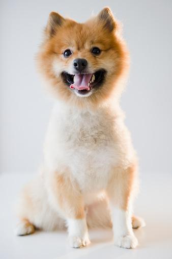Pride「Portrait of Pomeranian dog」:スマホ壁紙(6)