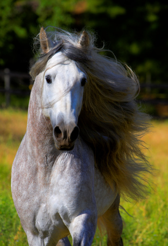 Animal Mane「Portrait of Horse with Mane Blowing in Wind  Stallion Andalusian」:スマホ壁紙(18)