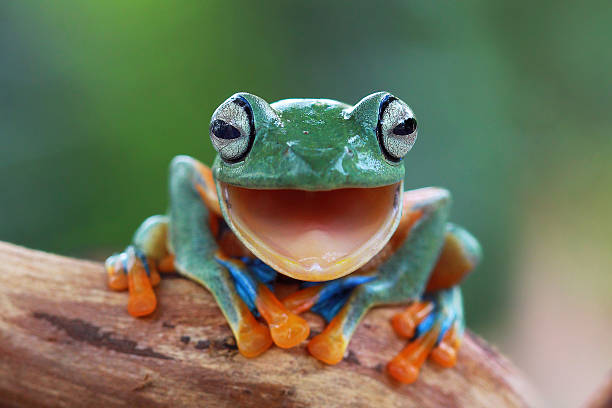 Portrait of a Javan gliding tree frog with mouth open, Indonesia:スマホ壁紙(壁紙.com)