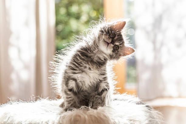 Portrait of cute fluffy kitten tilting head:スマホ壁紙(壁紙.com)