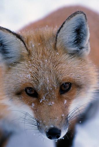 Choosing「Portrait of adult red fox」:スマホ壁紙(13)