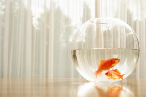 Freshwater Fish「Portrait of goldfish in a bowl」:スマホ壁紙(1)