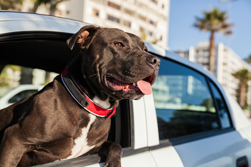South Africa「Portrait of a dog leaning his head out of a car window.」:スマホ壁紙(5)