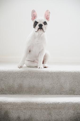 Animal Ear「Portrait of a French Bulldog, dog sitting like a lady」:スマホ壁紙(14)