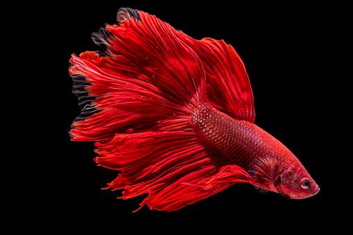 Siamese Fighting Fish「Portrait of a Red Betta Fish」:スマホ壁紙(1)