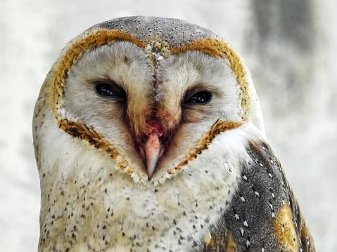 Dethan Punalur「Portrait of a Barn Owl (Tyto alba)」:スマホ壁紙(12)