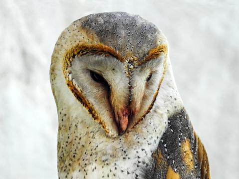 Dethan Punalur「Portrait of a Barn Owl (Tyto alba)」:スマホ壁紙(14)
