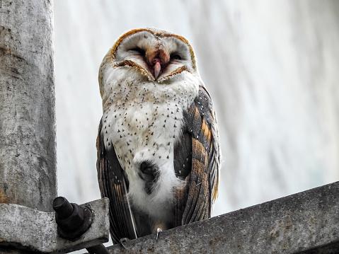 Dethan Punalur「Portrait of a Barn Owl (Tyto alba)」:スマホ壁紙(11)