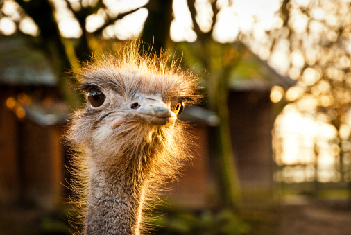 Displeased「Portrait of an angry ostrich」:スマホ壁紙(15)