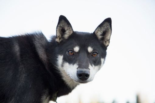 Dogsledding「Portrait of Alaskan Husky Sled Dog Looking Back at Camera」:スマホ壁紙(17)