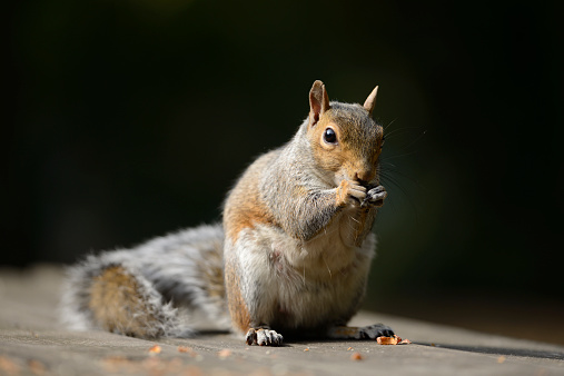 Gray Squirrel「Portrait of eating Grey squirrel, Sciurus carolinensis」:スマホ壁紙(19)