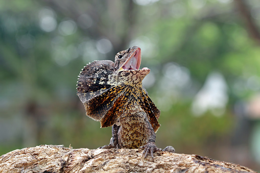 Alertness「Portrait of an angry frill-necked lizard (Chlamydosaurus kingii)」:スマホ壁紙(10)