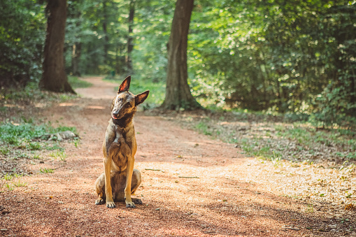 Woodland「Portrait of a Belgian Malinois in the woods」:スマホ壁紙(8)