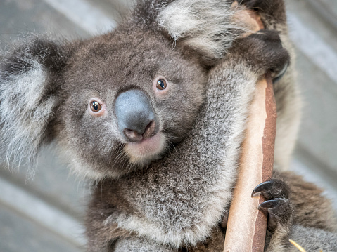 コアラ「Portrait of koala (Phascolarctos cinereus) on branch」:スマホ壁紙(14)