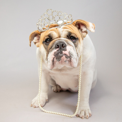 Crown - Headwear「Portrait of a bulldog wearing a tiara and pearl necklace」:スマホ壁紙(2)
