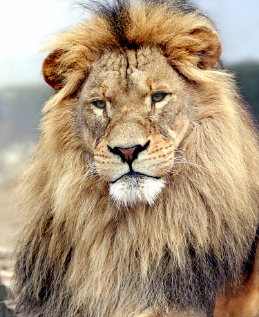 Staring「Portrait of a big male lion」:スマホ壁紙(8)